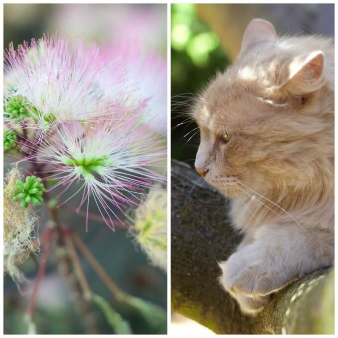 Mimosa blossoms and a cat in the tree.